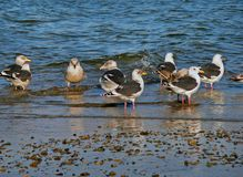 Slaty-backed Gulls (Larus schistisagus) Royalty Free Stock Images