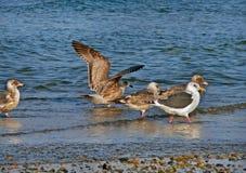 Slaty-backed Gulls (Larus schistisagus) Royalty Free Stock Images