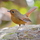 Slaty-blue Flycatcher bird Stock Photos