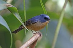 Slaty-blue Flycatcher Ficedula tricolor Beautiful Male Birds of Thailand. Slaty-blue Flycatcher Ficedula tricolor Beautiful Male Bird of Thailand Royalty Free Stock Image