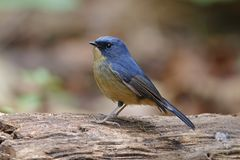 Slaty-blue Flycatcher Ficedula tricolor Beautiful Male Birds of Thailand. Slaty-blue Flycatcher Ficedula tricolor Beautiful Male Bird of Thailand Royalty Free Stock Photos