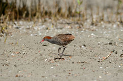 Slaty-breasted rail Royalty Free Stock Images