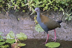 Slaty-breasted wood rail hunting in creek Stock Photo