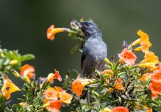 Slaty Flowerpiercer Diglossa plumbeaPANAMA. Closeup of male small gray songbird with specialized beak for piercing flowers for nectar.This bird,Slaty Stock Photos