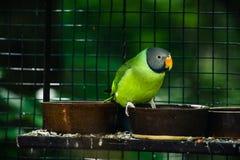 Slaty-headed parakeet Stock Photo