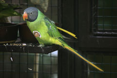 Slaty-headed parakeet (Psittacula himalayana). Stock Photos