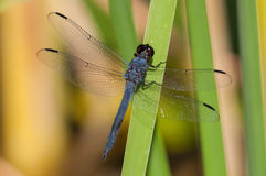 Slaty Skimmer. On a cattail stock photo