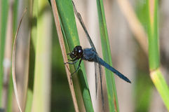 Slaty Skimmer. Eating a bug royalty free stock images