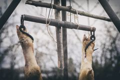 The slaughtered pig is hangs on a hook, hanging on a tripod, the process of freshening, Ukraine. The slaughtered pig is hangs on a hook, hanging on a tripod, the royalty free stock images