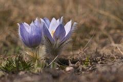 Slavica del Pulsatilla che fiorisce sul pendio di collina Fotografia Stock