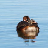 Slavonian Grebe Chicks On a Tour Stock Photos