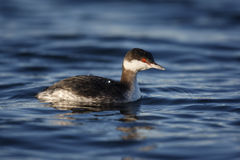 Slavonian grebe, Podiceps auritus Stock Images