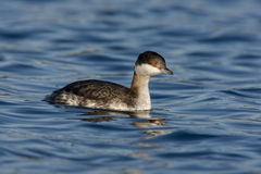 Slavonian grebe, Podiceps auritus Stock Photography