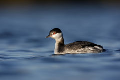Slavonian grebe, Podiceps auritus. On water in Staffordshire, winter Stock Images