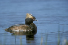 Slavonian or horned grebe, Podiceps auritus. Single bird on water,  Canada Royalty Free Stock Image