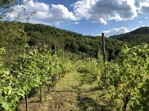 Free Slavonian Vineyards On The Slopes Of The Pozega Basin Royalty Free Stock Photo - 158096715