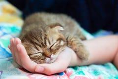 Slcottish kitten sleep on female hand Stock Image