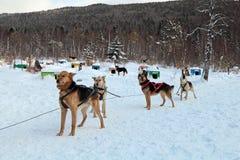Slädehundkapplöpning Fotografering för Bildbyråer