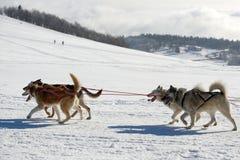 Slädehundkapplöpning Royaltyfria Bilder