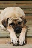 Sleapping大型猛犬 免版税库存照片