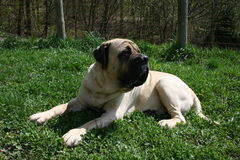 Sleapping Mastiff. Beautiful peach mastiff on a sunny day Stock Image