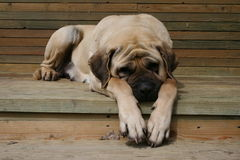 Sleapping Mastiff. Beautiful peach mastiff sleapping on a sunny day Royalty Free Stock Photo