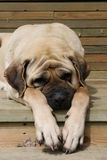 Sleapping Mastiff. Beautiful peach mastiff sleapping on a sunny day Royalty Free Stock Photos