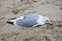 Slecht gekwetste zeemeeuw in het zand stock afbeeldingen