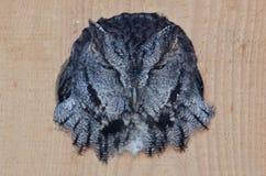 Slecht uitziende Westelijke kreet-Uil die uit van een het Nestelen Doos turen Royalty-vrije Stock Afbeeldingen