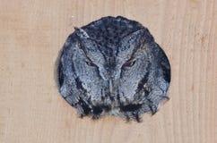 Slecht uitziende Westelijke kreet-Uil die uit van een het Nestelen Doos turen Stock Fotografie