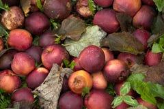 Slechte appelen Stock Foto