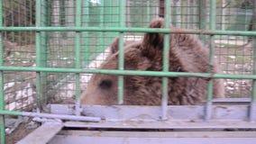 Slechte bruin draagt levend in staalkooi en achter de bars bij de dierentuin Droevig draag achter omheining in gevangenis Dieren  stock video