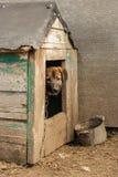 Slechte werfhond op de ketting in de cabine Royalty-vrije Stock Afbeelding