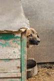 Slechte werfhond op de ketting in de cabine Stock Foto