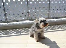 Slechtgezinde hond die van haar bruine kleur in heet zonnig de zomerweer genieten Royalty-vrije Stock Fotografie