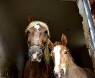 Slechts 10 dagen oud paard met zijn moeder stock afbeelding