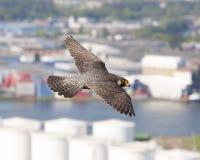 Slechtvalk, sokoła wędrownego jastrząbek, Falco peregrinus zdjęcie royalty free