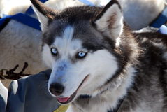Sled Dog Royalty Free Stock Photography