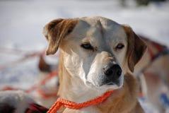 Sled dog Royalty Free Stock Images