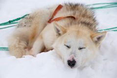 Sled dog. A brown sled dog in snow royalty free stock images