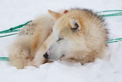 Sled dog. A brown sled dog in snow royalty free stock photos