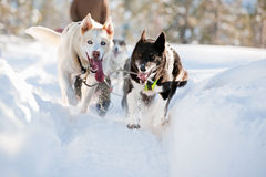 Sled Dog. A group of sled dogs running fast Stock Photo