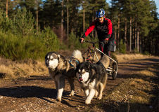 Sled Dog Association Scotland, race participant. Stock Images