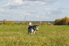 Sled dog breed Malamute Stock Photography