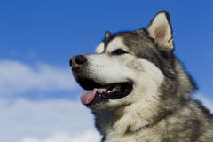Sled dog breed Malamute Stock Image