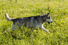 Sled dog breed Malamute Stock Photo
