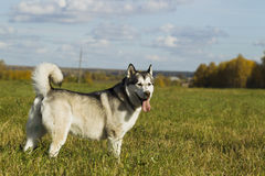 Sled dog breed Malamute Royalty Free Stock Image