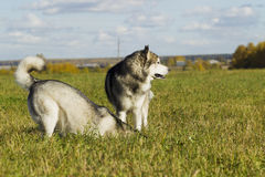 Sled dog breed Malamute Royalty Free Stock Images