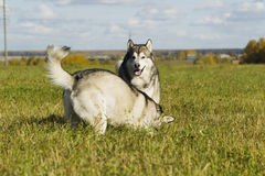Sled dog breed Malamute Royalty Free Stock Photos