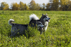 Sled dog breed Malamute Stock Images